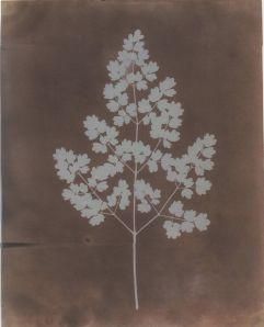 William Henry Fox TalbotAdiantum Capillus-Veneris (Maidenhair Fern) Photogenic Drawing Negative, probably from 1839. From Hans P. Kraus, Sun Pictures Catalogue 21, Item 1. New York 2012.