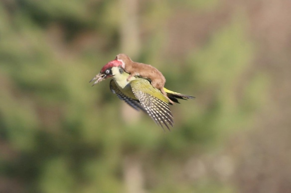 A Weasel Rides on a  Woodpecker, by Martin Le-May, 2015.  This picture 'went viral' and one can see why.  Nobody who saw it had ever seen such a thing before.