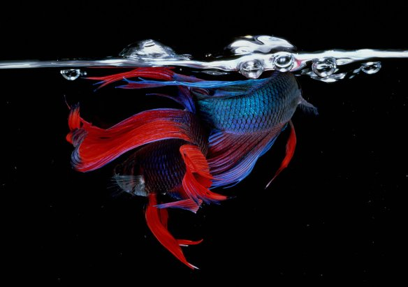 Hiro Betta Splendens 02038 NYC 1983