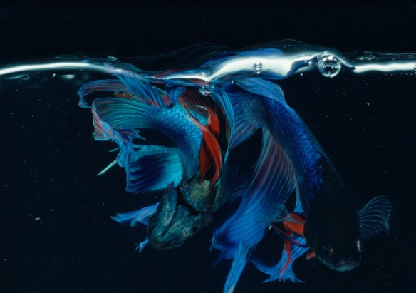 Hiro Betta Splendens 03028 NYC 1982