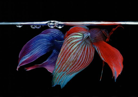 Hiro Betta Splendens 03048 NYC 1984