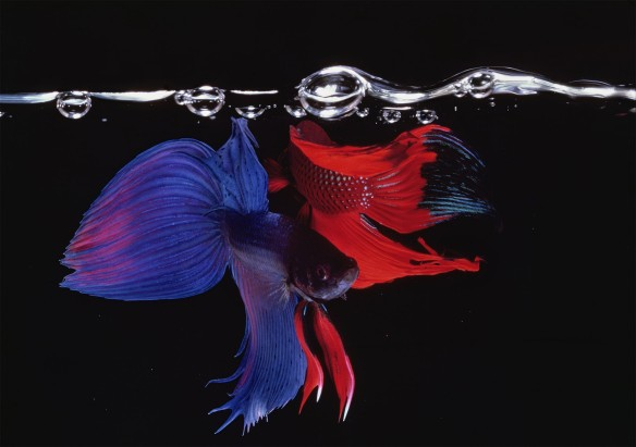 Hiro Betta Splendens 05048 NYC 1984