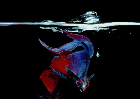 Hiro Betta Splendens 06048 NYC 1984