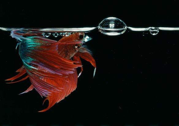 Hiro Betta Splendens 08048 NYC 1984
