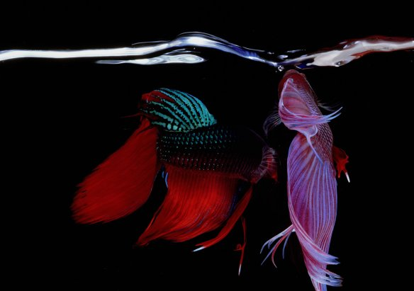 Hiro Betta Splendens 11048 NYC 1984